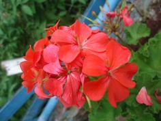 gerânio vermelho (Pelargonium sp.)