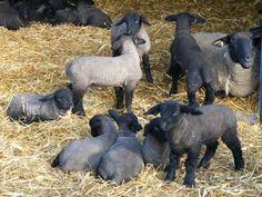 suffolk sheep and lambs - Barn Animals, Cute Animals, Country Life, Country Living, Hampshire Sheep, Jamie Cooper, Black Faced Sheep, Suffolk Sheep, Future Farms