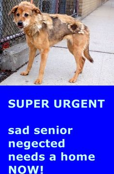 SUPER URGENT 1/18/15 Manhattan Center ANTHOULA - A1025795 FEMALE, TAN / BLACK, COLLIE SMOOTH MIX, 10 yrs STRAY - STRAY WAIT, NO HOLD Reason STRAY Intake condition GERIATRIC Intake Date 01/18/2015 https://www.facebook.com/photo.php?fbid=947273418618871