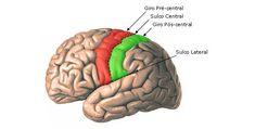 Aula de Anatomia | Telencéfalo