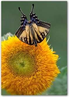 Eastern Swallowtail Butterfly and Sunflower by robin.