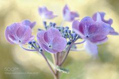 Hydrangea by MandyDisher. @go4fotos