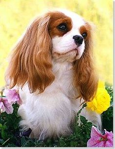 CKCSC, USA, Canadian, and AKC Champion La Liz, a Laughing Cavalier.  Simply the most beautiful!  Cavalier King Charles Spaniel