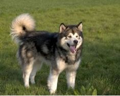Alaskan Malamute - again with the curly tail