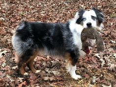 Syd, a miniature Australian Shepherd, works hard every time he's in the woods. Dove Hunting, Quail Hunting, Hunting Dogs, Australian Shepherd Puppies, Australian Shepherds, Wirehaired Pointing Griffon, One Duck, English Pointer, Adventure Photos