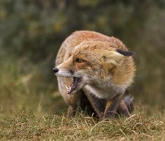 Red Fox by Laurens De Haas - Red Fox discovers another fox nearby