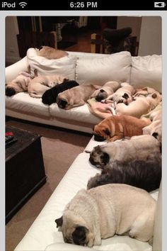 Couch pugtatoes!