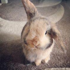 #rabbit #minilop