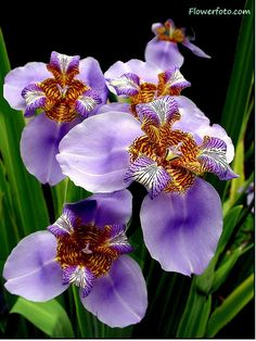 We've got tons of native flowers here in Aroostook County, and though they may not be from this area originally, irises thrive in our region.