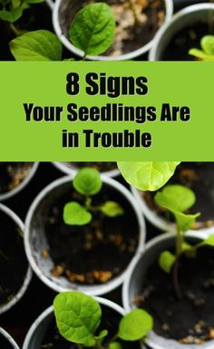 Growing garden plants and flowers from seed is often a less expensive alternative to buying full grown or starter plants. This method does require a level of patience and attentiveness to your young sprouts. This is a guide about 8 signs your seedlings are in trouble.