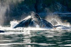 Baleines, Alaska