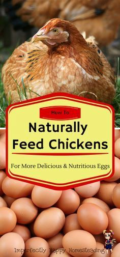 How to Naturally Feed Chickens for More Delicious and Nutritious Eggs