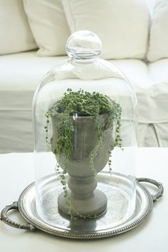 "This plant is called strands of pearls. Find an old urn, cloche, and vintage silver tray on the nicer plastic ""silver"" trays. Simple and pretty. Growing Succulents, Succulents Garden, Succulent Planters, Hanging Planters, Indoor Succulents, Terrarium Design, Mini Terrarium, Terrarium Ideas, Cloche Decor"