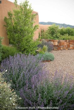 Adobe house by gravel driveway in New Mexico xeriscape, dry landscape, drought tolerant garden