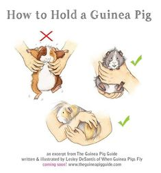 How to hold a guinea pig. Cutest illustrations and expressions ever! Makes me want to hug them all. I still hold my Guinea pig the first way. Guinea Pig Food, Pet Guinea Pigs, Guinea Pig Care, Pet Pigs, Diy Guinea Pig Toys, Guinea Pig Costumes, Guinea Pig Clothes, Diy Guinea Pig Cage, Guinea Pig House
