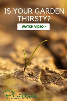 Is your garden thirsty? Do you know how much to water? Get the answer in this video from Pinetree Garden Seeds! Gardening For Beginners, Gardening Tips, How To Know, Did You Know, Rain Collection, Dry Garden, Water Me, Healing Herbs, Grow Your Own Food