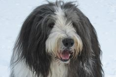 Dibble - Braddabrook Glad Tidings - our 3rd bearded collie, so handsome and he was a magnificent dog and as gentle as they come. He is missed every single day, his life was too short.  Born 22nd December 2000 - died suddenly 22nd November 2010, just a month short of his 10th birthday.  We cried for days and days.