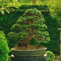 """My favorite tree in my collection. Almost 13 years I've spent training this tree. #bonsai #bonsaitree #portulacariaafra #portulacaria_afra #porkbush…"""