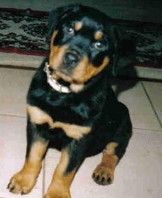 Rottweilers - I love these dogs!