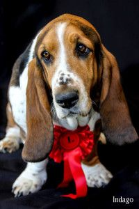 Basset Hound....Looks similar to Butch....I still miss him.