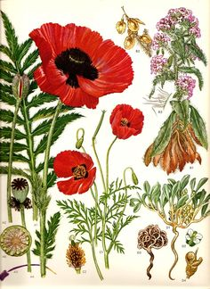 Vintage 1970 RED POPPY Color Art Print by NaturalistCollection, $7.00