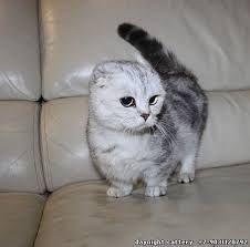 munchkin cat scottish fold - Google Search