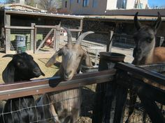 Spend a delightful hour or so at this charming petting zoo in New Mexico, where you can feed the adorable goats, chickens, and. Try Not To Smile, Post Animal, Tourist Trap, Land Of Enchantment, Make New Friends, Mexico Travel, Zoo Animals, Small Towns, New Mexico