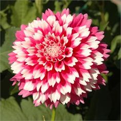 """FUZZY WUZZY (MID) Introduced in 2000. Slightly lacinated petals on this 3"""" cutie give it a """"fuzzy look"""". Blooms are brightly colored pink wi..."""