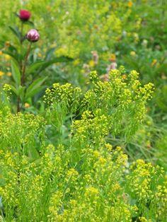 Isatis tinctoria, woad flowers