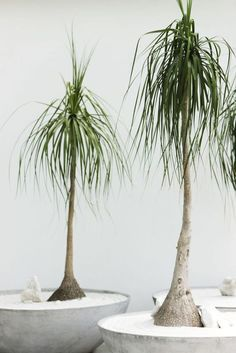 Ponytail Palm - GoodHousekeeping.com
