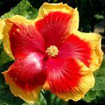Exotic Hibiscus 'Slapstick'