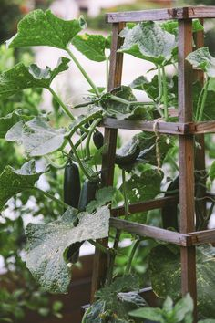     Japanese cucumber 'Tasty Queen' thrives on a trellis and has fewer seeds than traditional varieties.