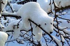 Sneeuw of ijsbeer?