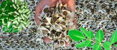 7 beneficios de la semilla de moringa para tu salud, mentiras y propiedades - La Guía de las Vitaminas Stuffed Mushrooms, Vegetables, Moringa Oleifera, The World, Vitamin E, Lower Cholesterol, Remedies, Plants, Veggie Food