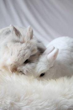 Precious, elegant white bunnies