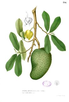 Over a quarter of a century ago a study was performed on the seeds of the Soursop fruit, also known as graviola, which at that time demonstrated such amazing cancer-fighting potential, that those exposed to it within the conventional medical community looked upon it with complete incredulity.