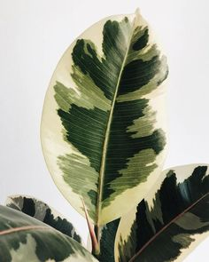 I haven't posted any photo of Ficus elastica variegata baby 💚😅 in awhile. It's about time to catch up! It has been growing very fast and… Indoor Flowering Plants, Leafy Plants, Variegated Plants, Garden Plants, House Plants Decor, Plant Decor, Ficus Elastica, Plant Aesthetic, Plants Are Friends