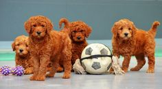 Adorable Puppies From Chevromist Cute Puppies, Teddy Bear, Poodles, Pets, Animals, Animales, Standard Poodles, Animaux, Poodle