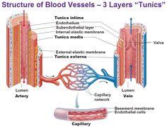 blood-vessels-tunica-intima-endothelium-subendothelial-layer-internal-or-external-elastic-membrane-tunica-media-externa-basement-membrane-artery-vein-capillary-bed.jpg (998×758)