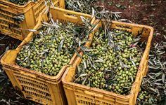 After gathering and collecting all day, these are the best olives, from Italy!
