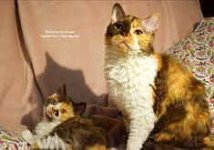 Selkirk Rex chat mouton Calico Selkirk Rex, T Rex, Cats, Animals, Cattery, Gatos, Animales, Kitty Cats, Animaux