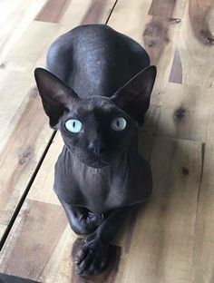 Royal Blue Sphinx / Cat Clothes / Pet Shop Store USA / Gift idea for sphinx owners / Premium Items Kittens sphynx cat Pretty Cats, Beautiful Cats, Animals Beautiful, Pretty Kitty, Hello Beautiful, I Love Cats, Crazy Cats, Cool Cats, Animals And Pets