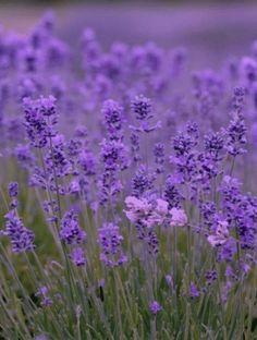 Lavender Fragrance Oil #fragrance #fragranceoils #lavender #lavenderfragrance #lavenderscent #indigofragrance