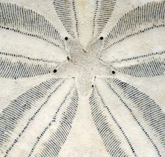 Close up photo of a sand dollar. Framed in silver with a linen mat...beautiful.