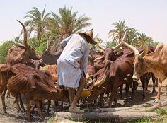 Nigeria - At The Well  / Yusufari / Red Fulani Cattle by Iris (Irene Becker), via Flickr
