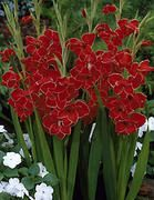 Gladiolus Redwing Butterfly