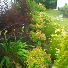 Foundation plants for the side yard...spirea, daylillies, coreopsis, Shasta daisies, zebra grass, ninebark, cosmos, brown eyed susans