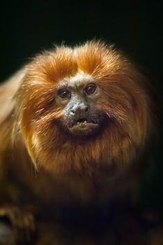 Lion Faced Monkey