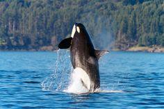 San Juan Orca Breach 1 by Jon Cornforth ❘ Cornforth Images on Sea Whale, Undersea World, Evergreen State, San Juan Islands, Deep Blue Sea, Killer Whales, Whale Watching, Marine Life, Sea Creatures