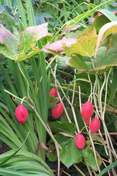 File:Podophyllum hexandrum (Himalayan Mayapple/Indian Mayapple -2.JPG